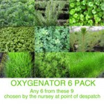 OXYGENATOR Plants Pack of 6 (9cm Pots)