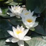 White Lily – White Virginalis Nymphaea (Live Plant – 1L Pot)